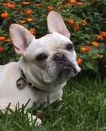 frenchbulldog1