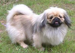 pekingesesmitty
