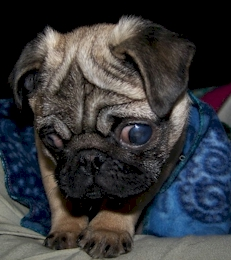 pugbilly